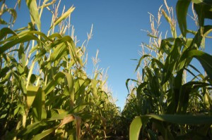 Corn field at Albuquerque Maize Maze at the Rio Grande Community Farm